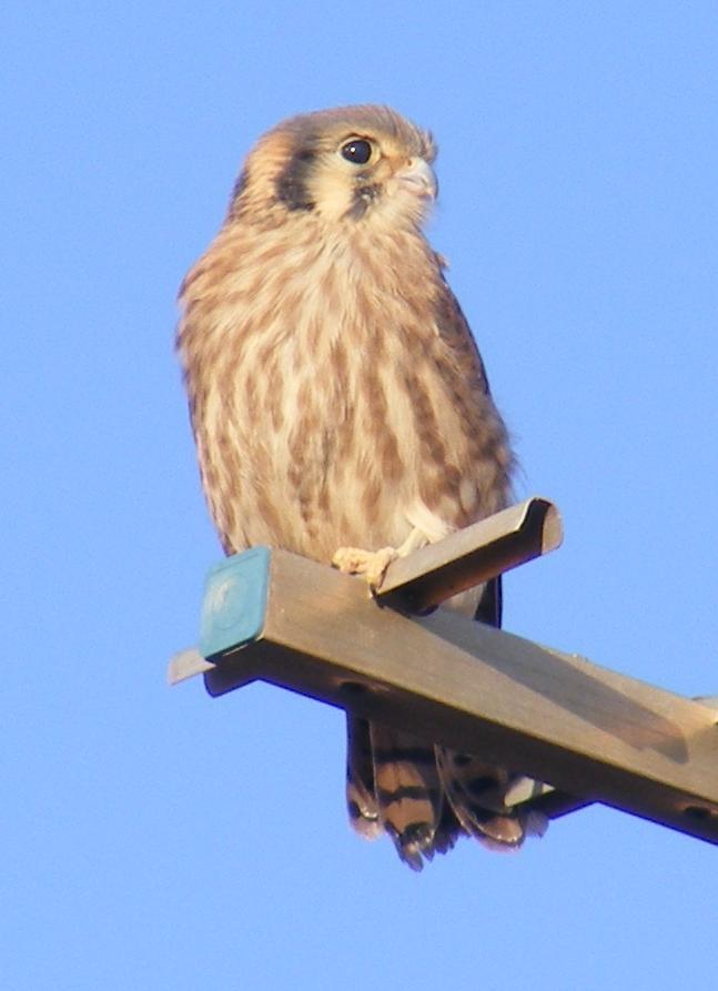 American Kestrel Falcon Fledgling Solo