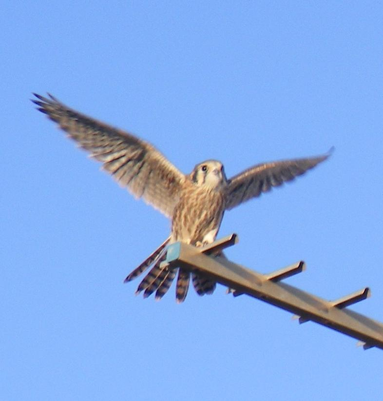 American Kestrel Falcon Fledgling Trial Flight