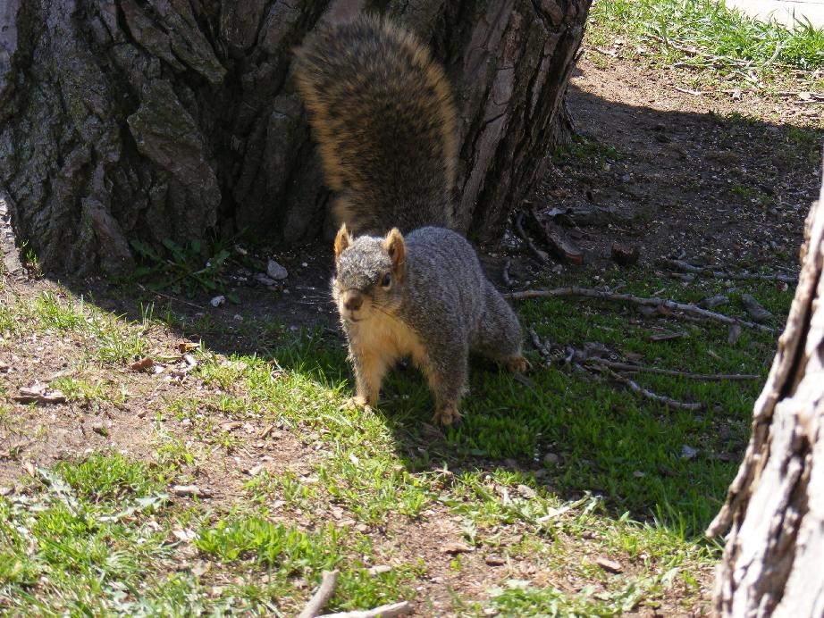 Bushy-Tailed Fox Squirrel Between Trees