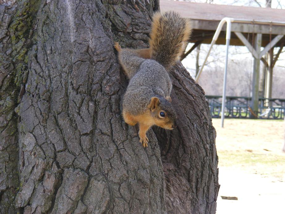 Fox Squirrel Climbing Down Tree Wondering What I Am Up To