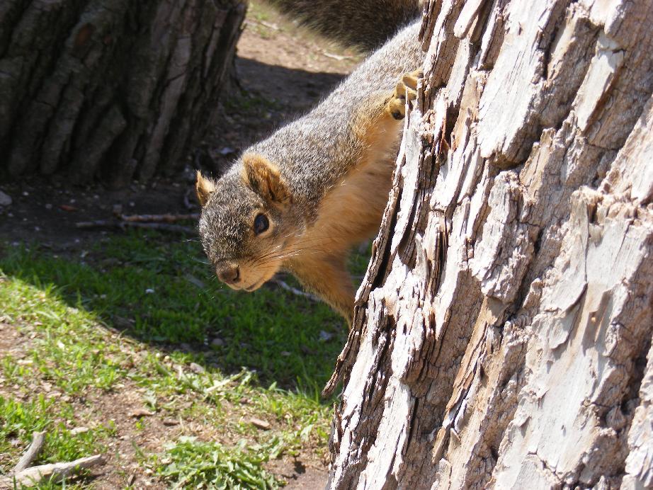 Peek-A-Boo!  Fox Squirrel Peeking Around and On Tree