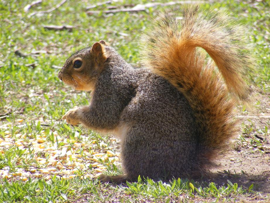 Side View of Fox Squirrel With Bushy Tail