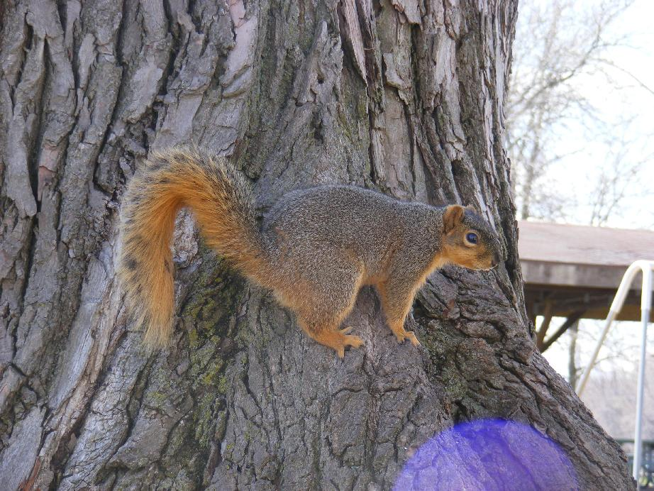 Fox Squirrel On Tree Keeping an Eye On Me