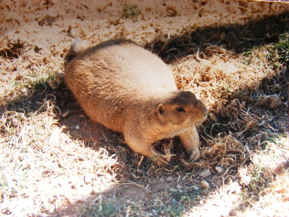 Chunky Prairie Dog with Dirt Clod on Nose!