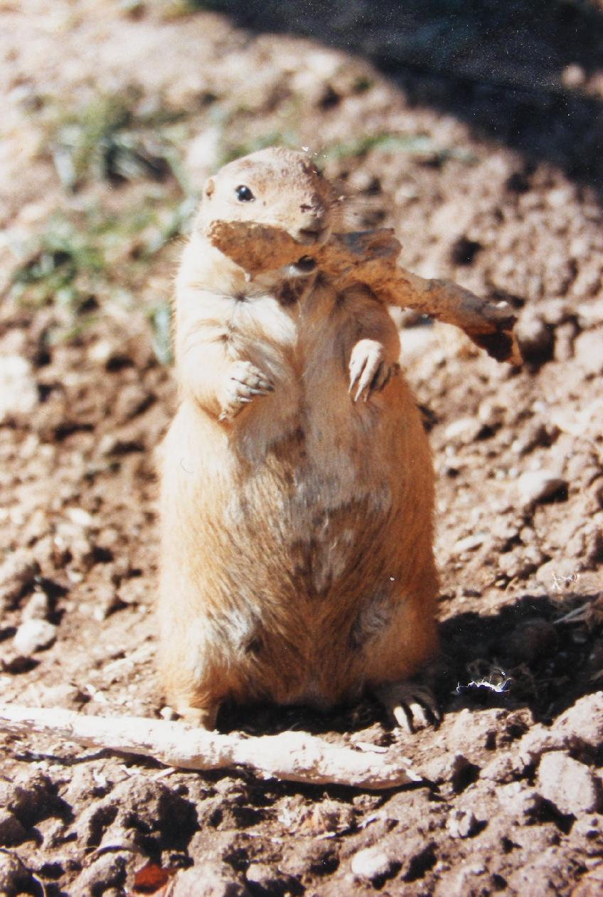 Prairie Dog With Stick