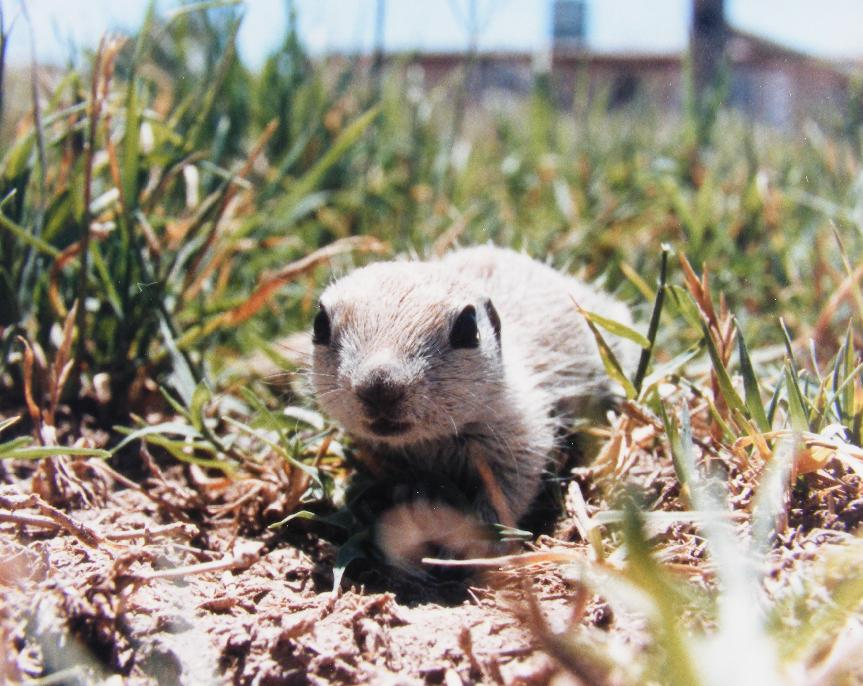 Baby Round-Tailed Ground Squirrel Crawl