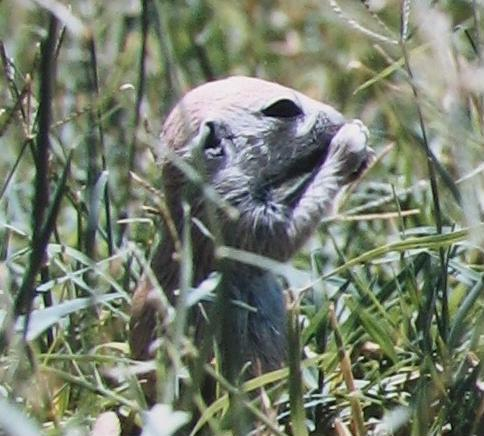 Baby Round-Tailed Ground Squirrel Eating Grass