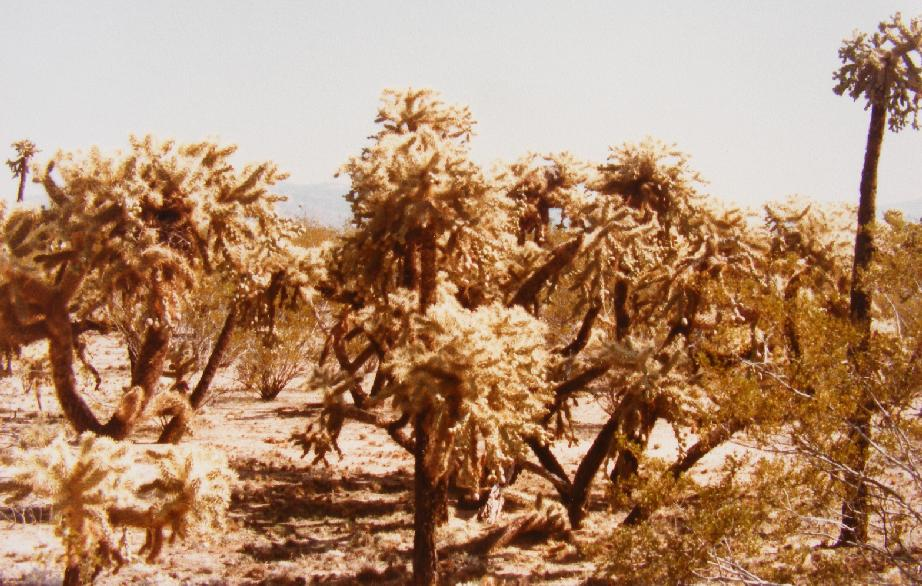 Jumping Cholla Forest