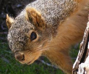 View More Fox Squirrel Photos