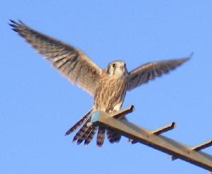 View More American Kestrel Falcon Photos