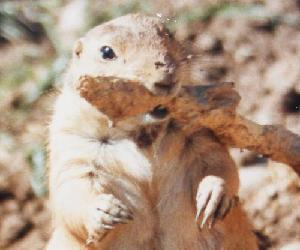 View More Prairie Dog Photos
